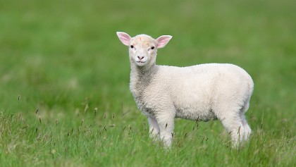 lamb-e0w0599-mousa-the-shetlands-scotland-2-