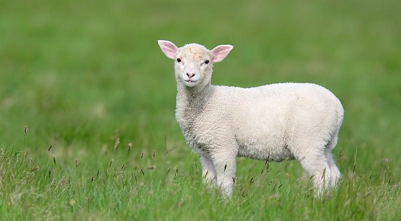 lamb-e0w0599-mousa-the-shetlands-scotland-2-